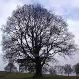 Quercus Sessilis