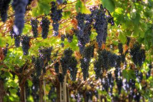 Grapes_growing_in_Valpolicella