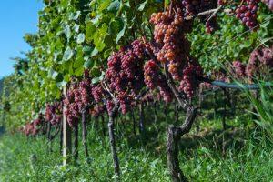 vitigno bacca nera alto adige