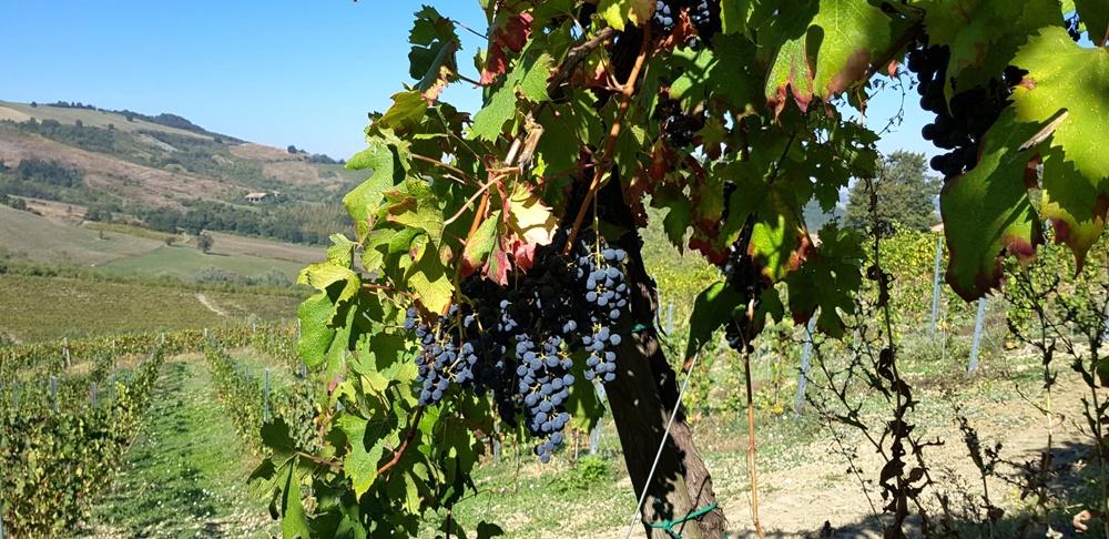 Cantina PrimaVena viticoltura